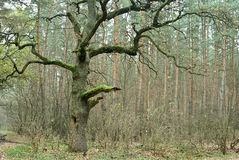 Old oak Royalty Free Stock Photography