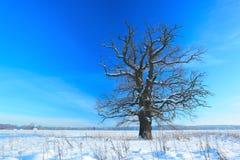 Old oak Stock Photography