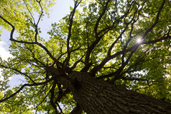 Old oak Royalty Free Stock Images