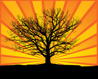 Old oak. Vector illustraion of an old white oak tree Royalty Free Illustration