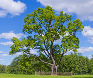 Old oak Stock Image