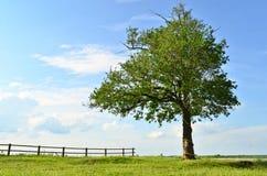 Old oak. Lonely oak tree in a field on a background beautiful sky royalty free stock photo