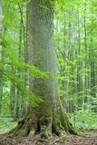 Old oak. Big old oak between young trees Royalty Free Stock Images