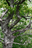 Old oak. Tree Stock Photography