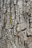 Old oak bark background Royalty Free Stock Photo