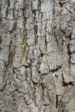 Old oak bark background Royalty Free Stock Photo