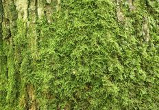 Old oak bark with green moss Royalty Free Stock Photos