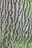 Old oak bark with green moss Royalty Free Stock Photography