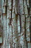 Old oak bark texture Royalty Free Stock Images