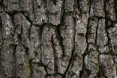 Old oak bark texture Stock Image