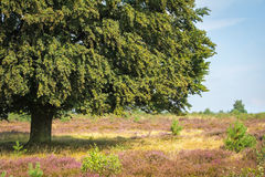 Old oak branch. In a field of blooming heather royalty free stock photography