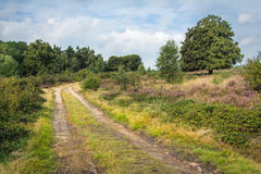 Walking track along a heather field and old beech. Walking track along a heather field and an old beech stock images