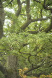 Old oak branches royalty free stock photo
