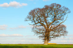 Old oak branching out in winter. English oak stands proud in countryside after foliage fallen in winter stock photos