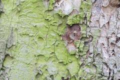 Old oak coarse bark Stock Images