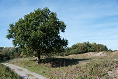 Old oak in dutch landscape Stock Image