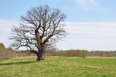 Old oak Royalty Free Stock Image