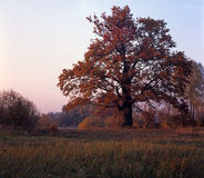 Old oak in floodplain Royalty Free Stock Images