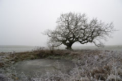 Old oak in fog Stock Image