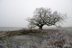 Old oak in fog Stock Image
