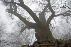 Old oak in the fog Stock Images