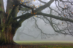 Old oak in fog. The massive oak tree in the park in a foggy day Royalty Free Stock Photo