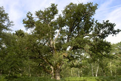 Old oak in Fontainebleau forest stock images