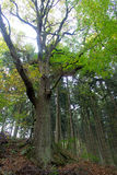 Old oak in forest Royalty Free Stock Photography