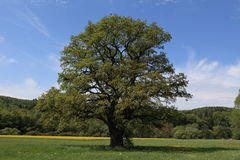 Old Oak Royalty Free Stock Photo
