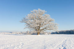 Old oak in hoarfrost against the blue sky and the church Royalty Free Stock Photography