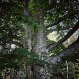 Old oak Royalty Free Stock Photos