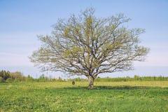 Old oak in meadow. Stock Photos