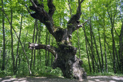 The old oak near the road in th woods. Stock Photo