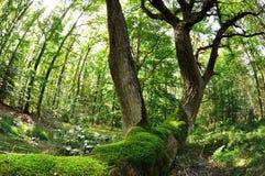 Old oak - photo from fisheye Stock Photos