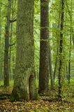 Old oak and pine. In natural forest just after rain Stock Photo
