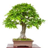 Old oak Quercus robur as green bonsai tree. White isolated Stock Images