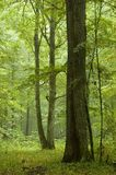 Old oak rain after. Ols oak in natural forest just after rain Stock Photos