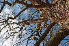 Old oak in Richmond Park. Tree branches touching the sky stock photos