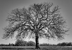 Old Oak Royalty Free Stock Photos