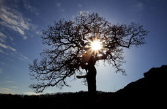 Old oak with sun Royalty Free Stock Image