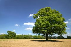 Old oak on a sunny day Stock Image