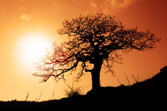 Old oak in sunset Royalty Free Stock Image