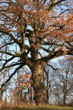 Old oak tree. With falling autumn leaves Stock Images