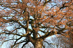 Old oak tree. With falling autumn leaves Royalty Free Stock Photo