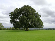 Old Oak Tree Royalty Free Stock Photography