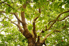 Old Oak tree. Old and green english oak tree Stock Image