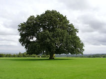 Old Oak Tree. Standing on a Green Lawn Royalty Free Stock Image