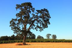 Old Oak Tree Stock Photo