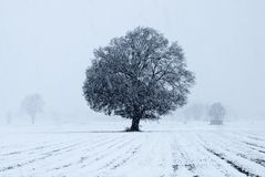 Old oak tree Stock Images