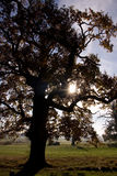 Old Oak Tree. Silhouette of an old oak tree on a beautiful sunny morning royalty free stock photos